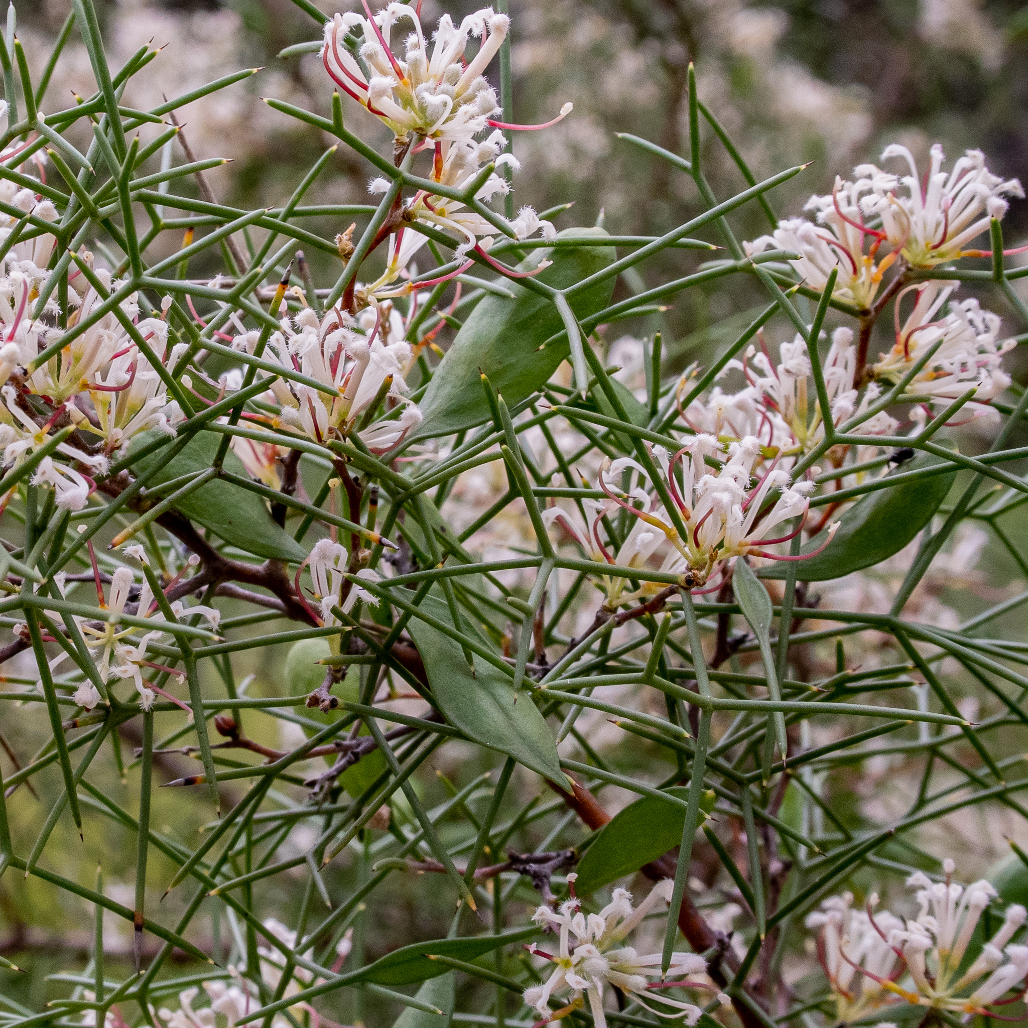 Two-leaf Hakea