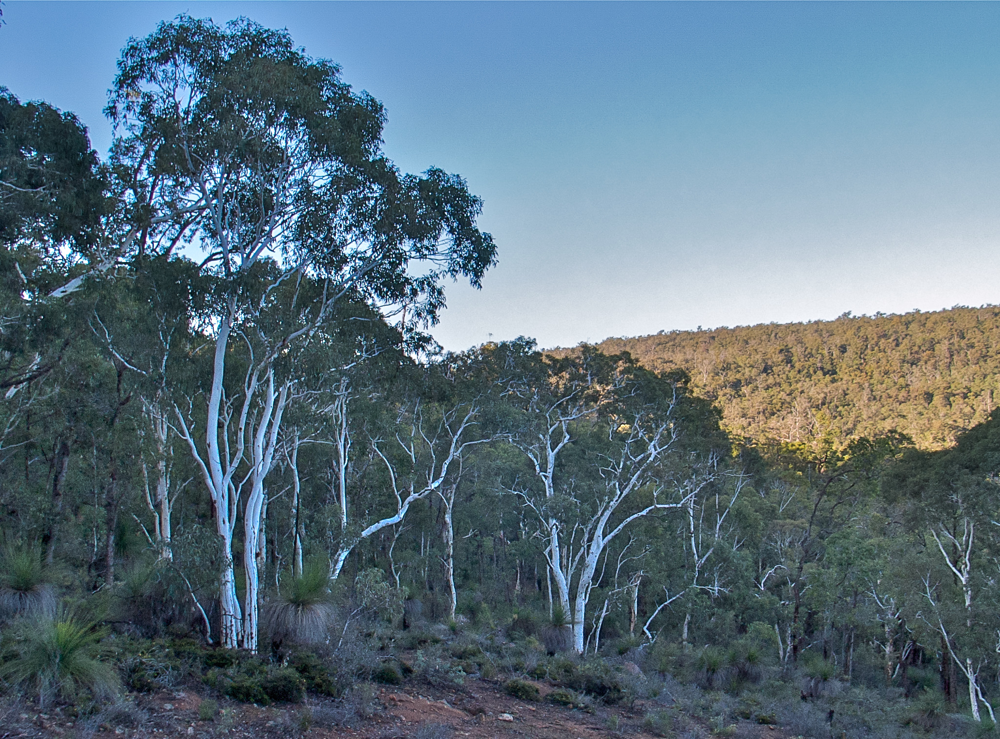 Darling range ghost gum