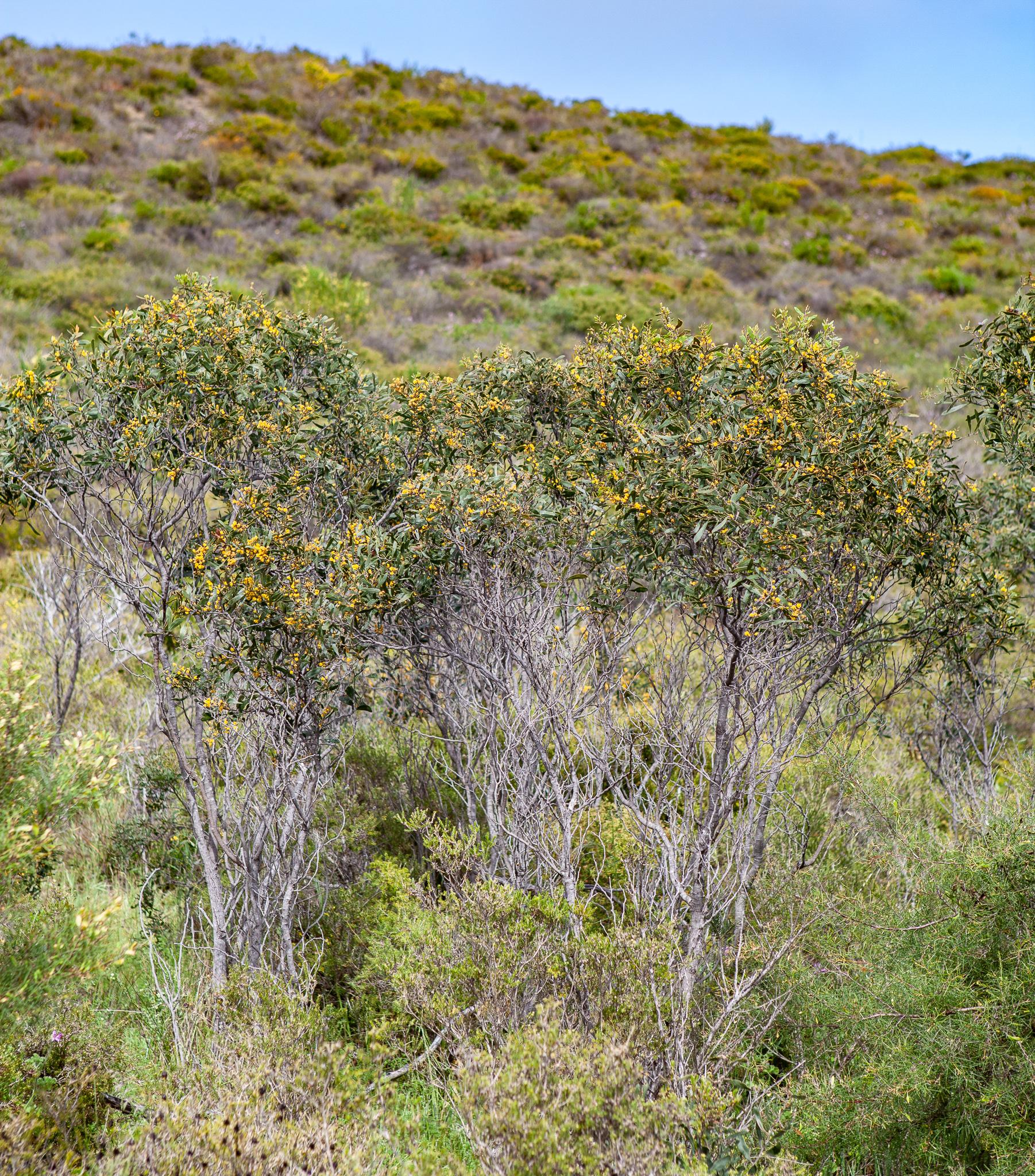 Summer-scented wattle