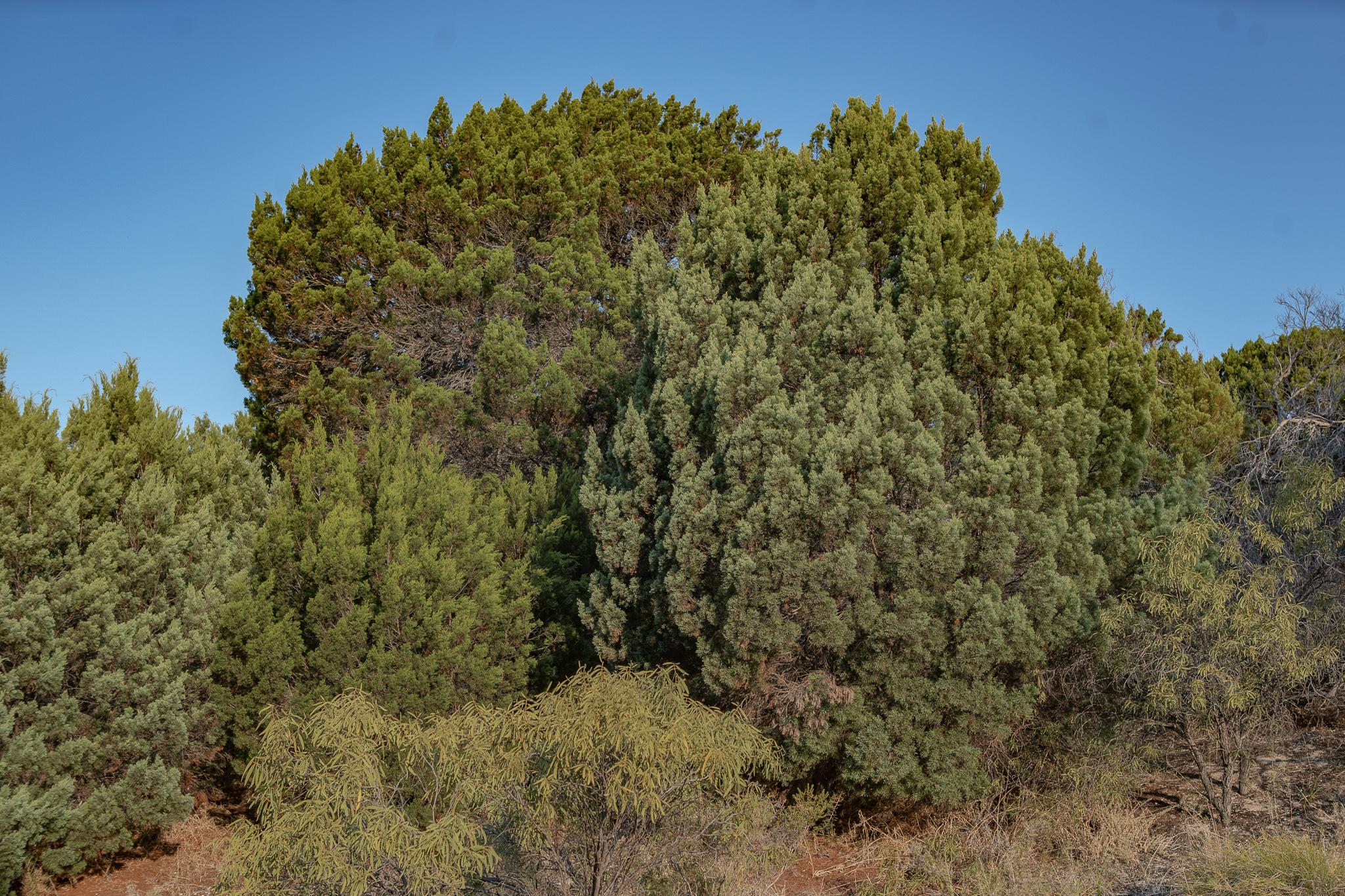 Rottnest Cypress