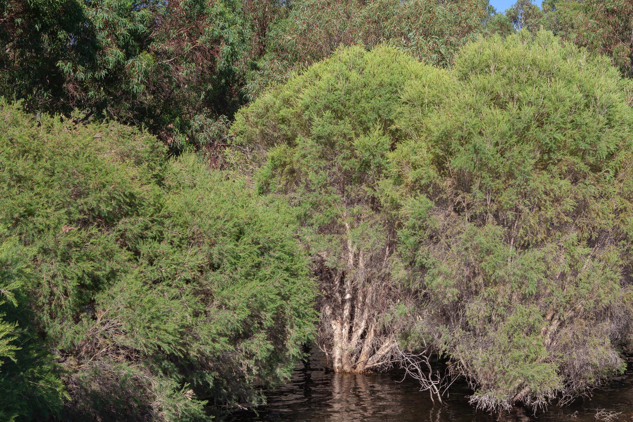 Freshwater Paperbark