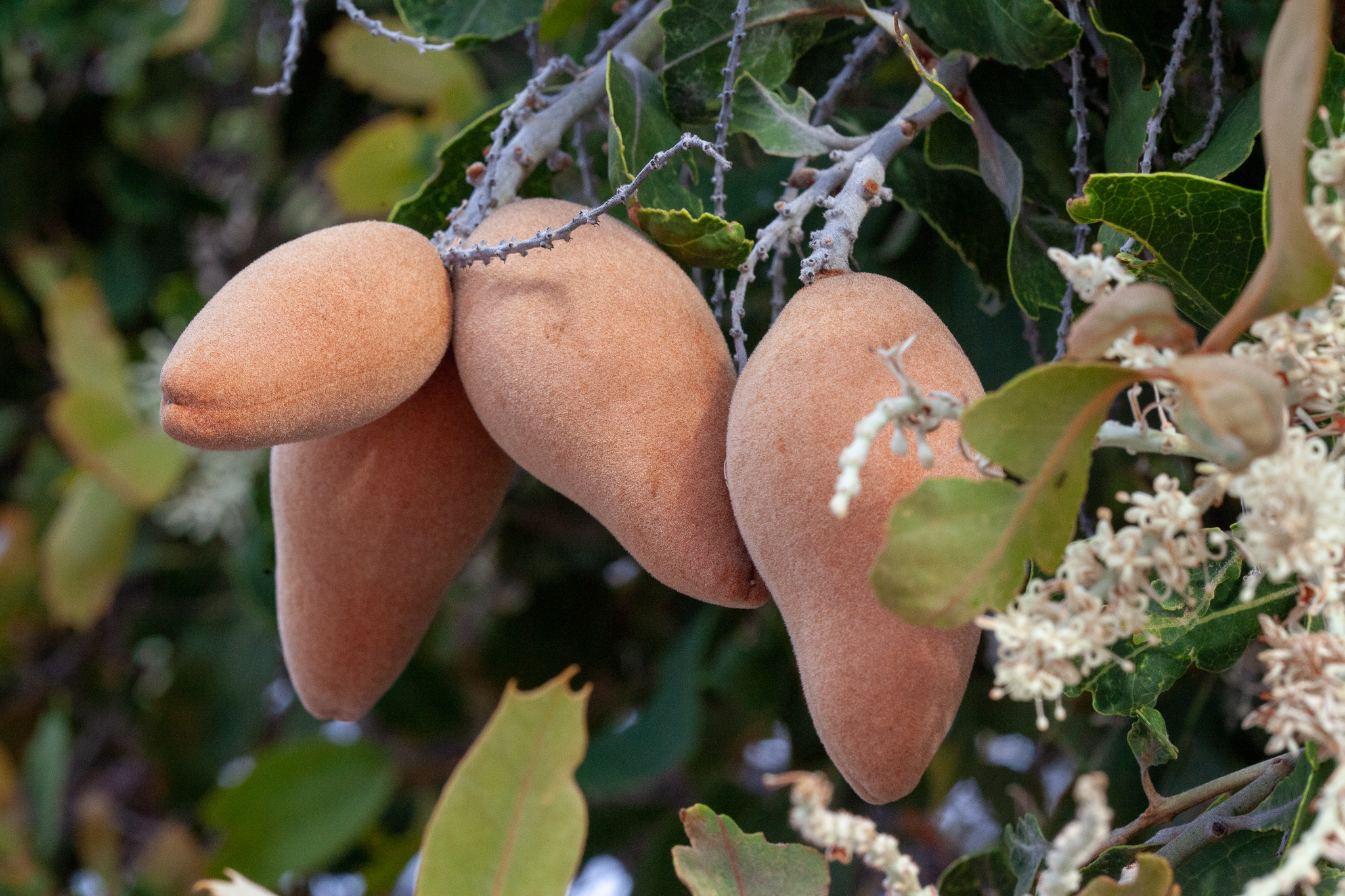 Woody pear