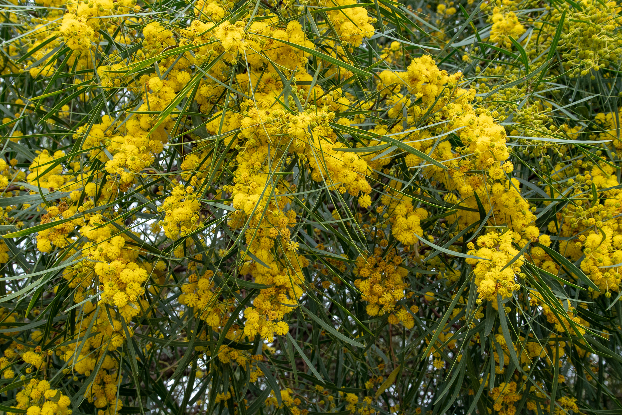 Golden-wreath wattle
