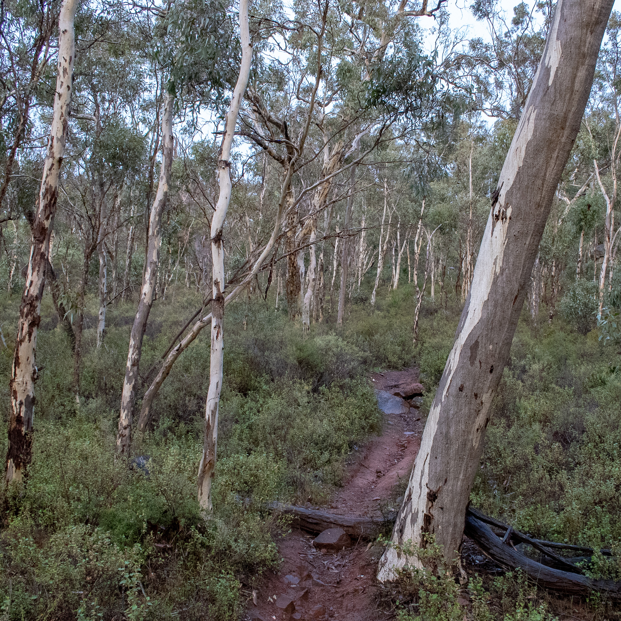 Wandoo White Gum Eucalyptus Wandoo Honkey Nuts