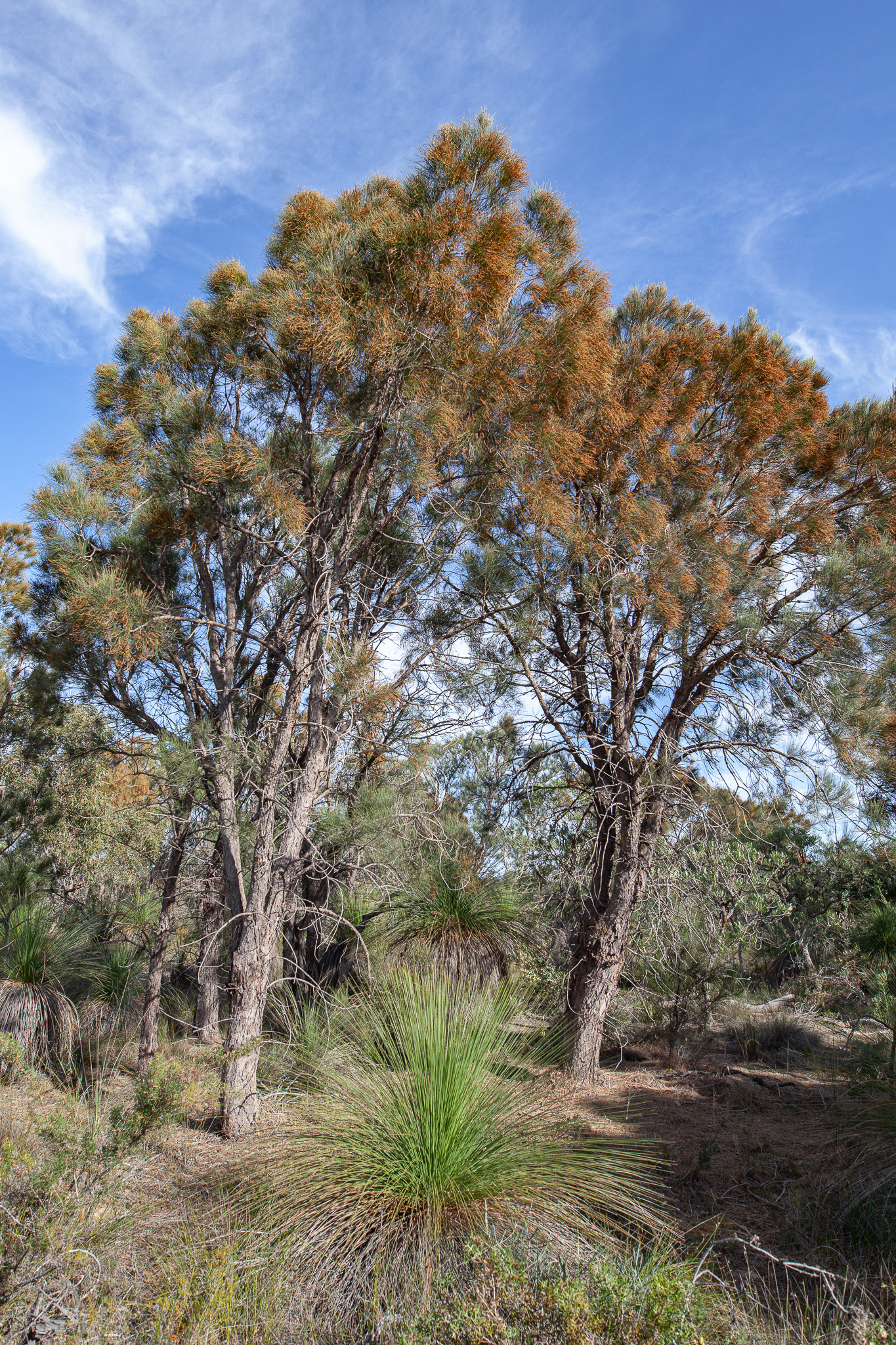 Common Sheoak