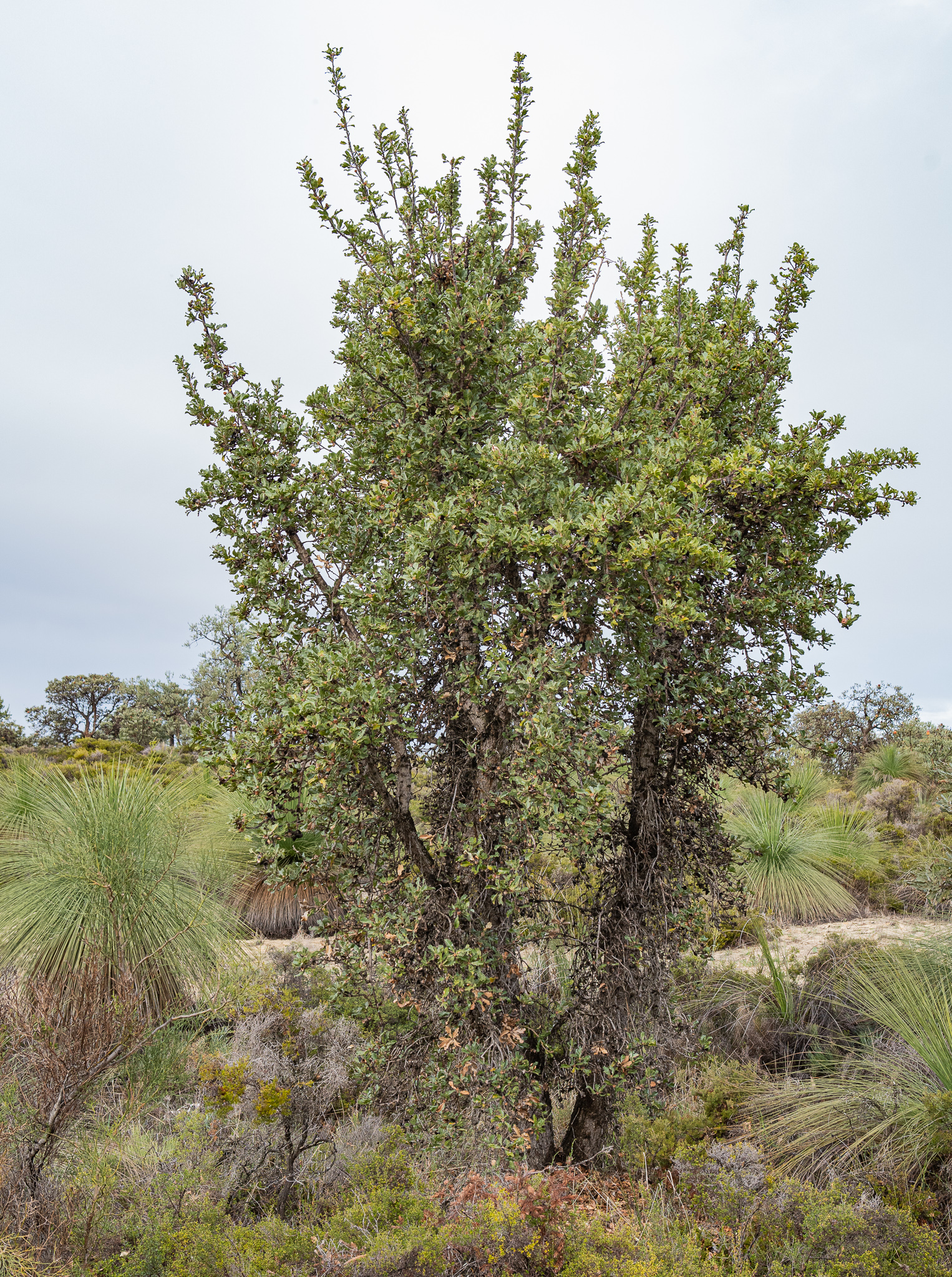 Holly-leaf banksia